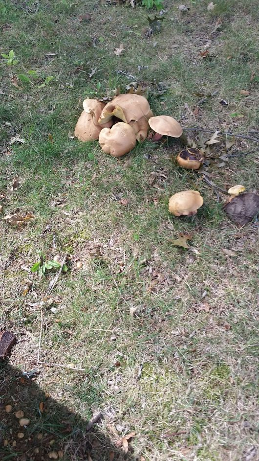 clumping shrooms