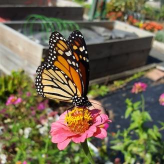 butterflies in late garden 10-19 7