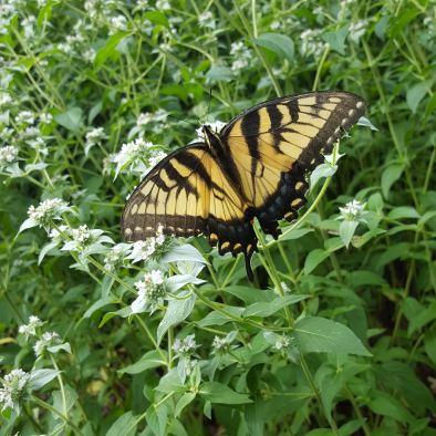 yellow swallowtail on white flowers holmdel park walk w missy 7-19 (6)