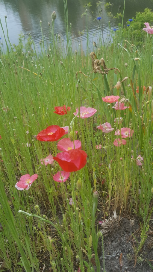 poppies on pond hill 5-20