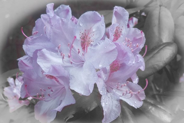 rhododendron study 6-20 _4